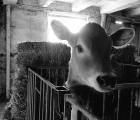 bw-calf