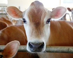 jersey cow facts